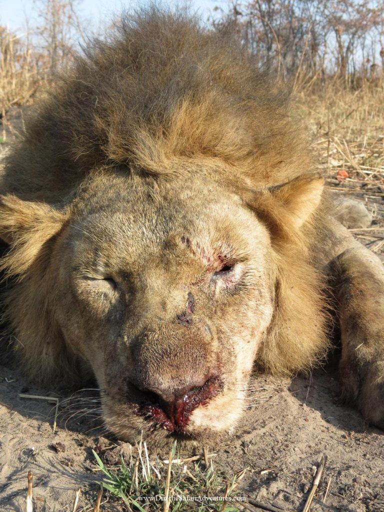 <font color=orange>A lion wears his age on his face-MS</font> A lion wears his age on his face-MS  Trophy hunting photos african dangerous game  hunting pictures dangerous game