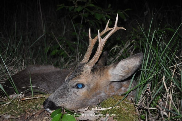 <font color=orange>Roe Deer-Germany 2012</font> Roe Deer-Germany 2012  European hunting photos  European hunting pictures