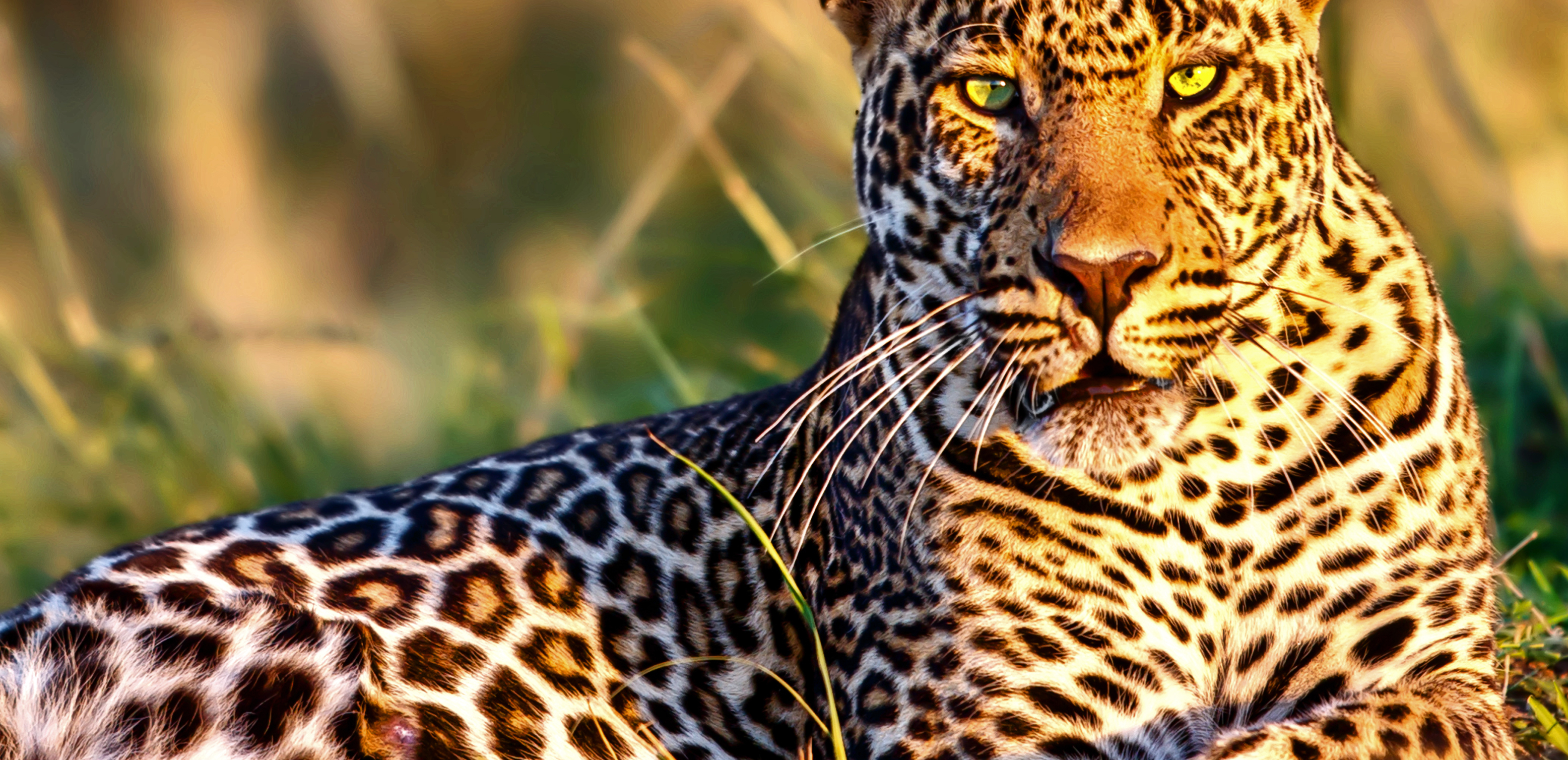 4-Leopard_close-up