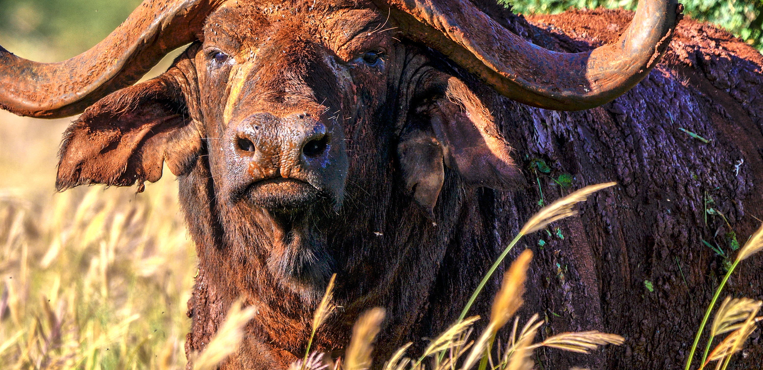 6-Buffalo_close-up